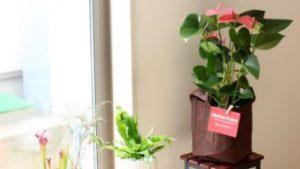 母の日プレゼントの花は鉢植えのコレ!珍しいピンクのアンスリウムは長持ちして育てやすい。