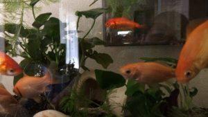 金魚が水槽から飛ぶ。飛び出した原因は?